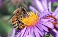 Nestajanje pčela je konačni znak da je svet pošao na put bez povratka