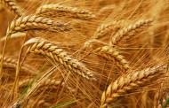 Evo zašto treba izbaciti pšenicu iz upotrebe