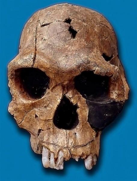 Homo-habilis-skull