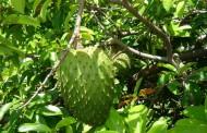 Čudesno voće iz Južne Amerike: 10.000 puta jače od hemoterapije