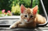 Nova studija tvrdi: Parazit koji prenose mačke izaziva šizofreniju i slepilo