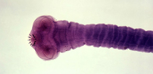 pantljicara-parazit