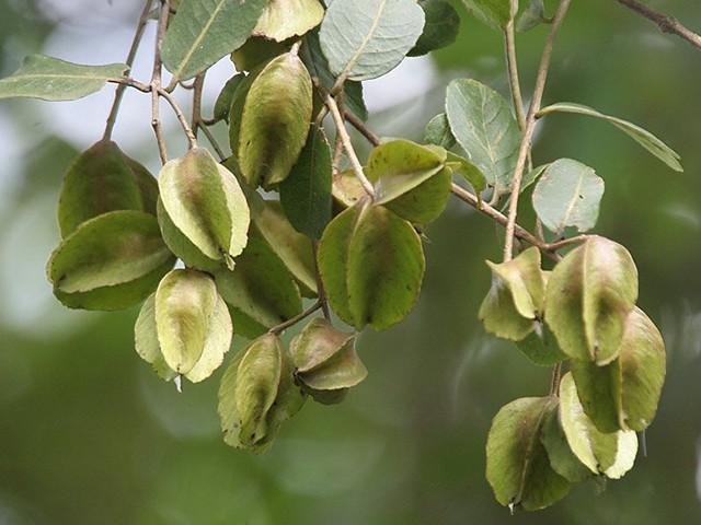 ardzuna