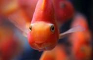 Najčudnija riba na svetu, mazi se kao mačka – VIDEO