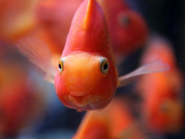 ribica-crveni-papagaj