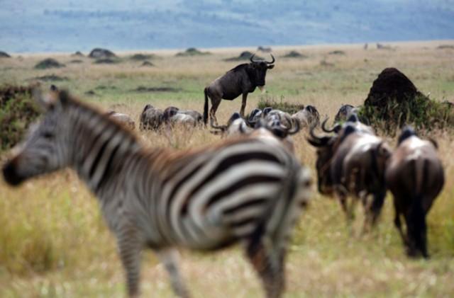 kenija-masai-mara