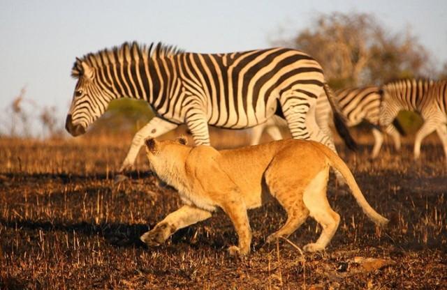 lav-zebra