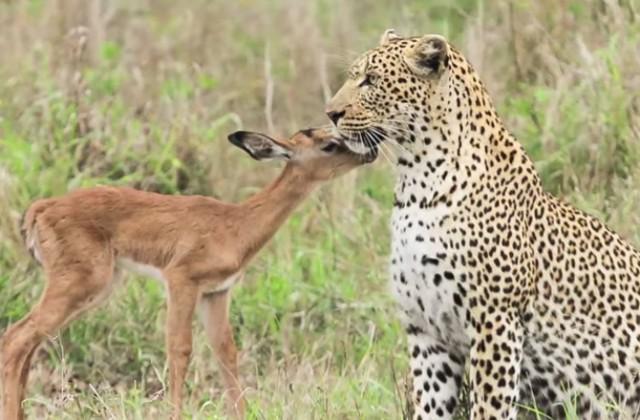 Leopard-i-Antilopa
