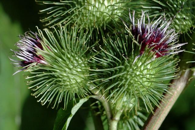 cicak biljka