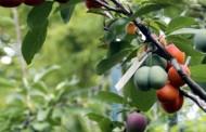 OVO NIKADA NISTE VIDELI: Drvo na kome raste 40 vrsta voća – VIDEO