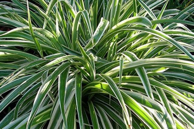 chlorophytum-comosum-Spider plant