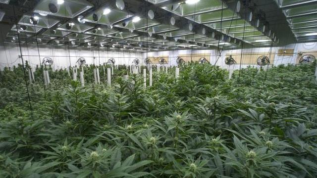 NAJVEĆI INDUSTRIJSKI PREOKRET SVIH VREMENA: Bajer i Monsanto počinju proizvodnju marihuane za ceo svet