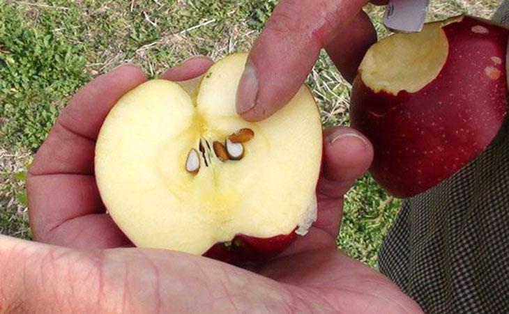 jabuka- semenke