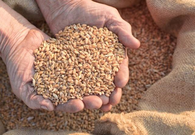 Veselinović: Uvozimo pšenicu i hleb, a domaća pšenica se prodaje kao stočna hrana