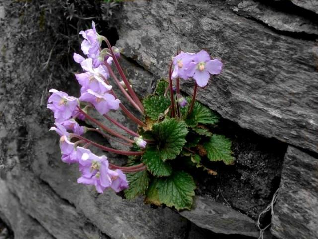 natalijina-ramonda srbija cvet
