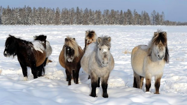 sibir rusija konji