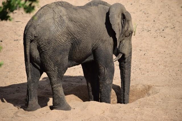 Slonica je kopala 11 sati, a kada su videli šta je bilo u rupi, svi su se NAJEŽILI – VIDEO