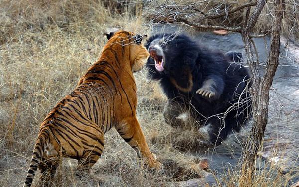 tigar i medvedica