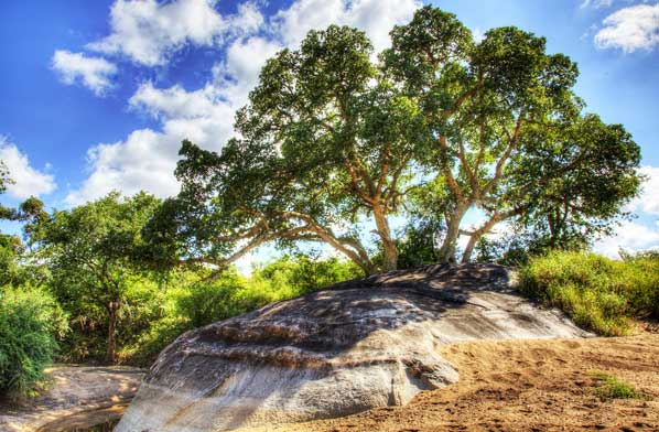 smokva drvo2