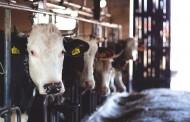 KREATORI IZA SCENE: Bolest ludih krava ponovo potresa tržište mesa