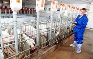 Rusija prestala da uvozi svinjetinu prvi put nakon 30 godina – Sada postali izvoznici