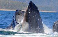Završio u ustima grbavog kita a kako je izašao?