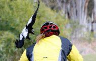 """Napadi vrana: Slomljene kičme, ruke, kolena i gležnjevi – """"Ovako nešto nisam doživeo"""""""