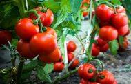 Velika pljačka a država samo gleda: Da li verujete za koliko trgovinski lanci otkupe paradajz kad ga prodaju za 160
