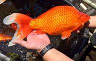 Ne puštajte zlatne ribice u reke i jezera – Nisu bezopasne
